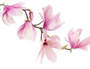 Grafika na szkło - magnolia